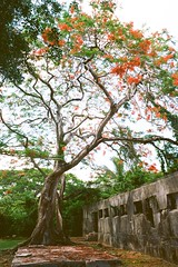 Old Japanese Jail and Flame Tree