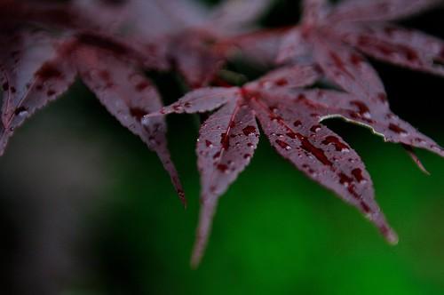 tree leave rain japan pluie 日本 arbre japon nihon feuille