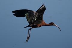 Glossy Ibis - Bombay Hook NWR, Delaware