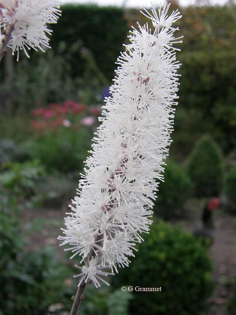 Actaea-simplex-brunette