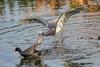 Wetlands war - The Heron strikes back