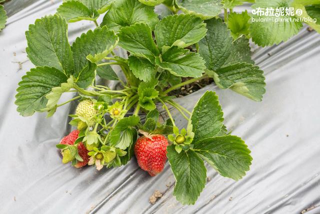 【苗栗一日遊】2016草莓季,苗栗景點推薦