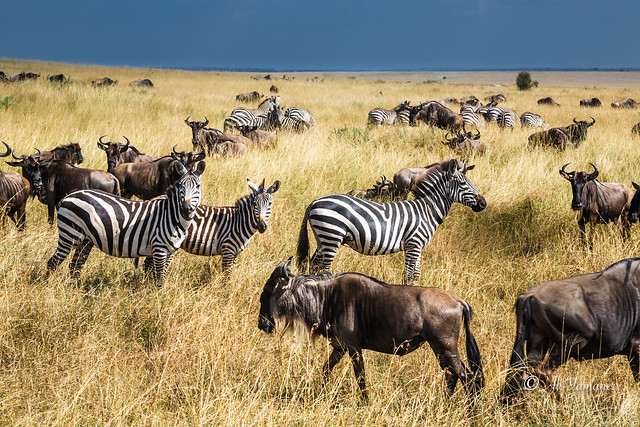 Great Migration - Masai Mara & Serengeti