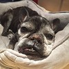 :broken_heart: Janie Sparkles left us yesterday evening, on her own terms—independent as always. She was my first and sweetest girl. We are grateful we could share 11 of her 13 years together. Thanks, French Bulldog Rescue. She was lucky to have so many f