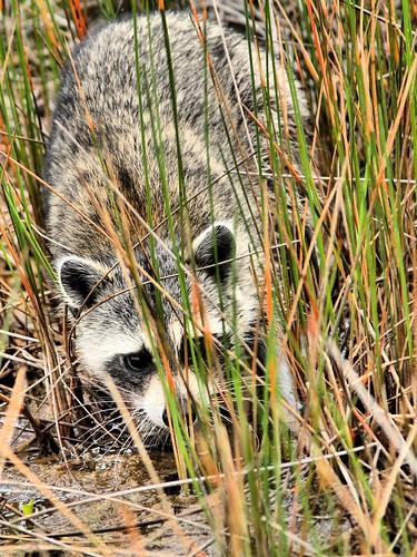 Raccoon HDR 20150602