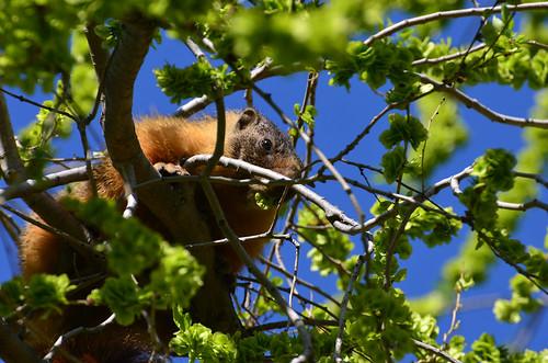 <p><i>Marmota flaviventris</i>, Sciuridae<br /> Okanagan Lake Provincial Park, British Columbia, Canada<br /> Nikon D5100, 70-300 mm f/4.5-5.6<br /> April 22, 2015</p>
