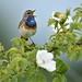 Bluethroat (Luscinia svecica) by m. geven