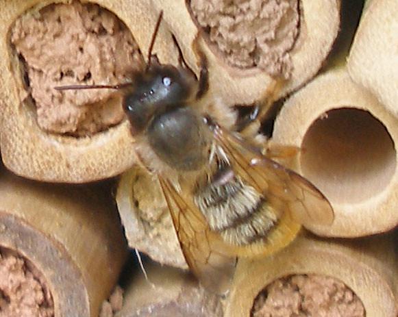 Female Osmia bicornis