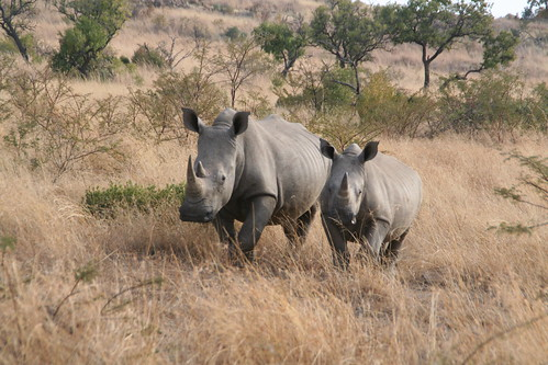 Rhinos kept scampering to and fro the car