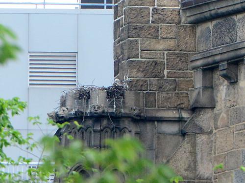 Cathedral Hawk Nestling  - 4709