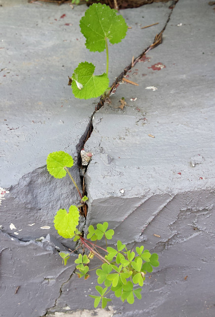 small hollyhock leaves growing through the retaining wall