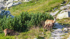 Kozice na szlaku na Szpiglasową