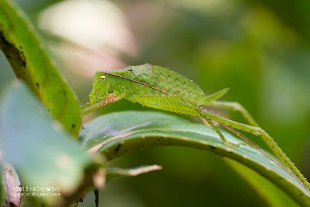 Katydid (Tettigoniidae) - DSC_5395