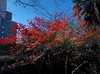 Christmas in Tokyo: Coloured leaves