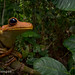 Gladiator tree frog (Hypsiboas rosenbergi) by Ville.V.