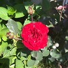 A #rose in Dad's backyard in #StoneyCreek in #July