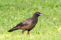 animal, fauna, beak, bird, crow-like bird, rook, wildlife,