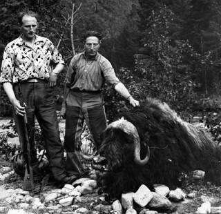 Far og sønn Stølen med moskusoksen som drepte en mann i Oppdal (1964)