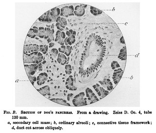 Fig. B from V.D. Harris and W.J. Gow, 'Note upon one or two points in the Comparative Histology of the Pancreas', Journal of Physiology 15 (4) (1893), pp. 349-360. On p. 354.