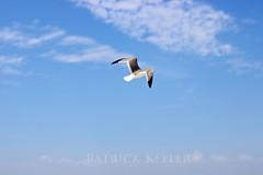 soaring_sea_gull_5170