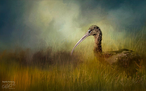 Image of a Limpkin at Vierra Wetlands