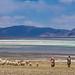The Shepherd and his flock by Rita Willaert