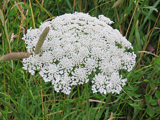 Queen Anne's Lace 2-20150708