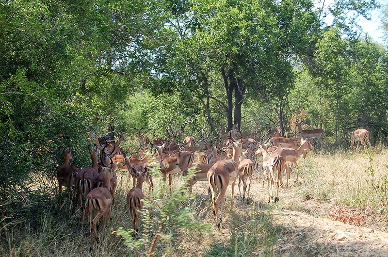 A herd of impala at MalaMala