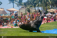 Seal Dog - Show