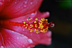 Hibiscus Droplets