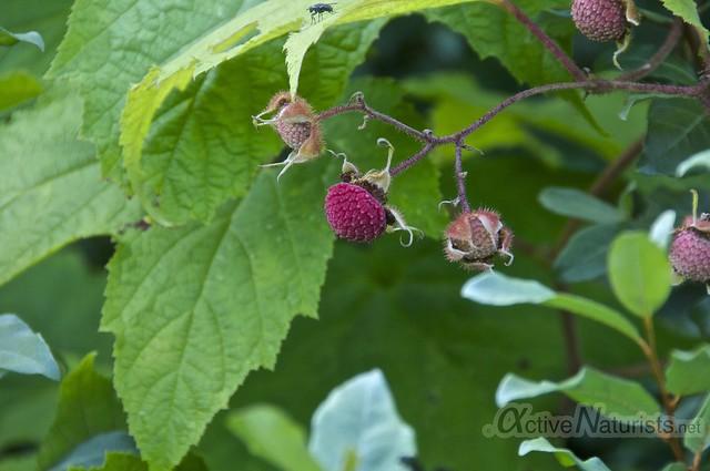 raspberry 0002 Harriman State Park, New York, USA