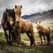 Icelandic horses 01 by arsamie