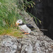 Horned puffin in Kenai Fjords NP by alexander.howard11