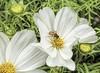 Honey bee pollinates white cosmea flower by dorrisd