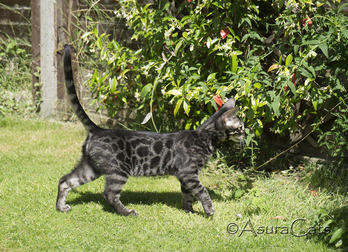 Charcoal rosetted Bengal kitten