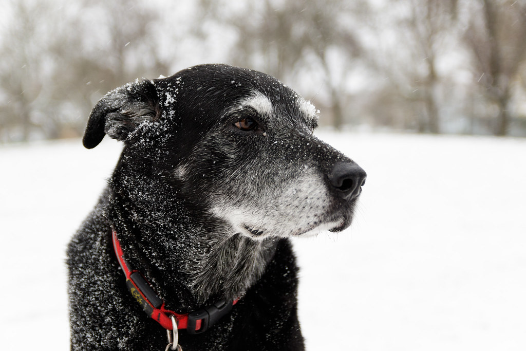 A close-up of our dog Ellie in the snow at the Irving Park dog park in Portland, Oregon