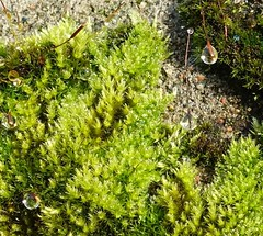 Moss jewels growing on a wall