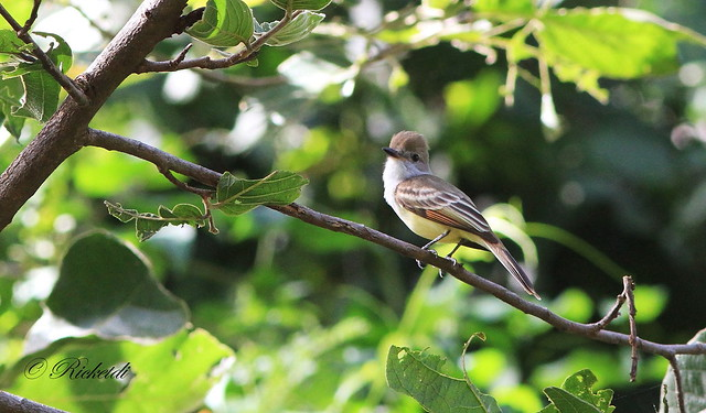 Nutting`s flycatcher / tyran de nutting/Myiarchus nuttingi