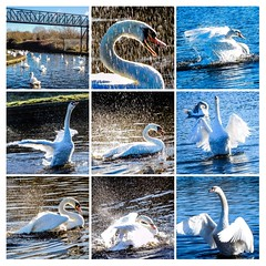 Holderswans enjoying splash time in the winter sunshine