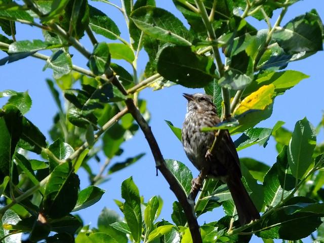 Song Sparrow Serenade