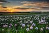 Winchester Poppy Field Sunset-2.jpg by keety uk