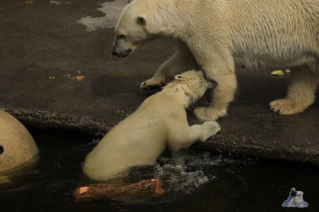 Eisbär Fiete im Zoo Rostock 12.07.2015 0250