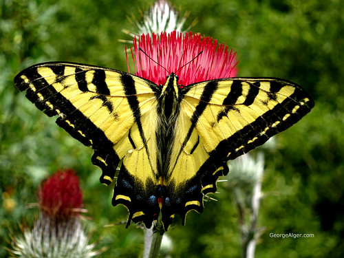 Yellow Swallowtail Butterfly, by George Alger