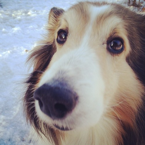 Seriously? The camera thing again? #Cupcake #sheltie