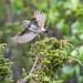 Bluethroat (Luscinia svecica) Blåhake