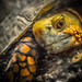 Mexican Box Turtle by kevolution15