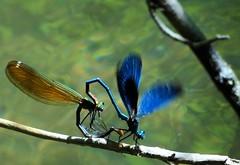 Accouplement de Calopteryx éclatant