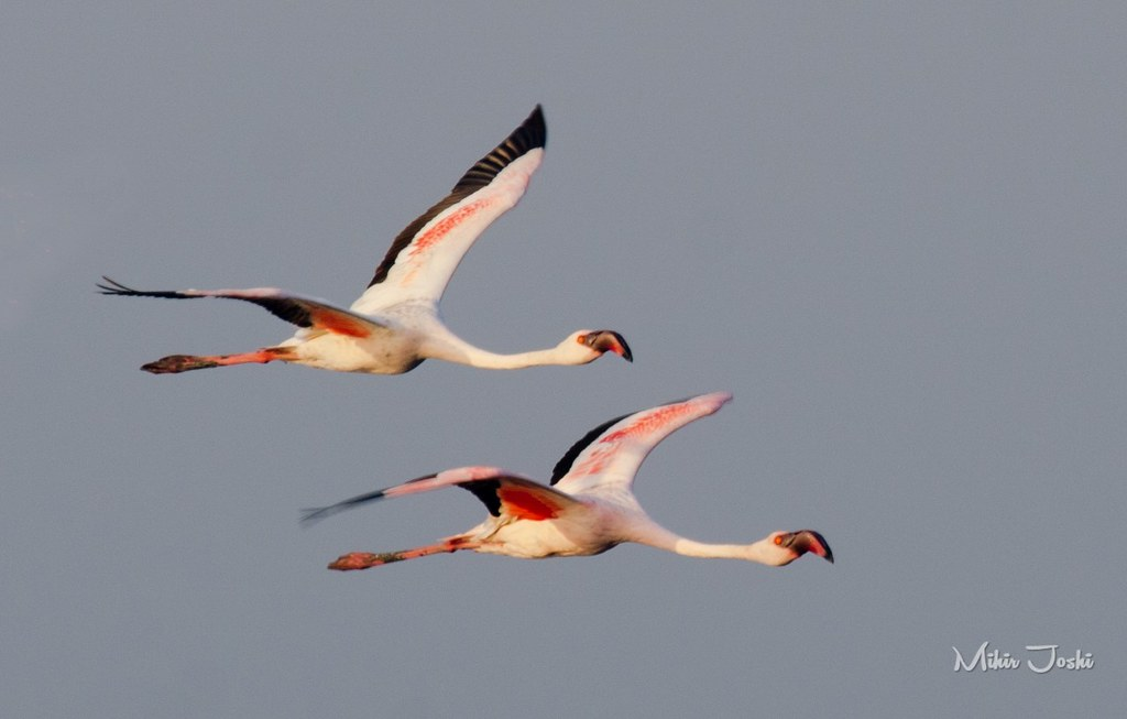 Lesser Flamingo (Flamenco Enano)