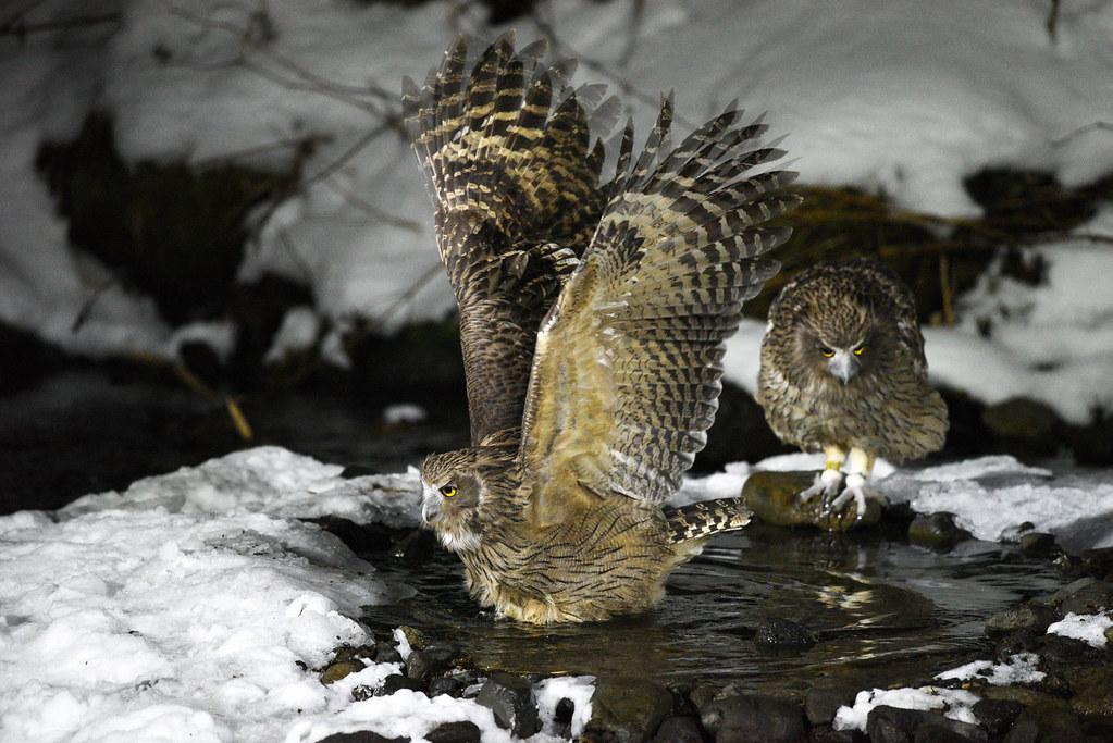 A couple of Blakiston's fish owls (1)