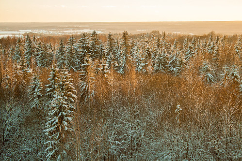 winter evergreen tree estonia areal wonderful world golden hour sunset rays alder forest woods drone view